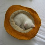 A Bakketunet kitten napping in a hat. Photo by Tom Wade.